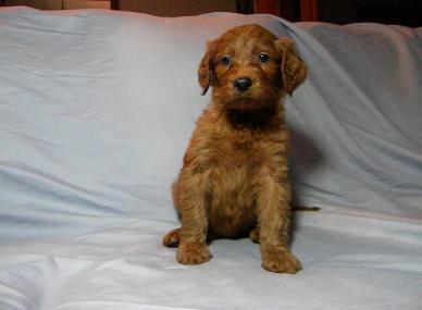 Irish Doodle Puppies For Sale